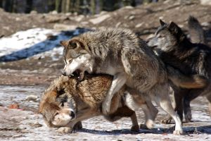 Wolves 2 by Prinzess-Stock