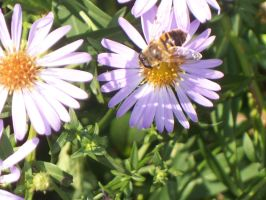 Bee Stock 009 by Pippas-Stock