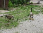 Geese 2_1 by hopper195