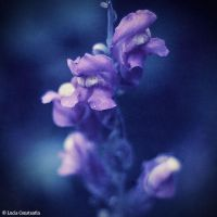 Snapdragon 'III' by LuciaConstantin