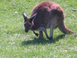 Wallaby 02 by Unseelie-Stock
