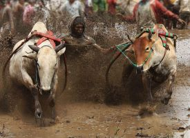 pacu jawi COW RACING by styvop