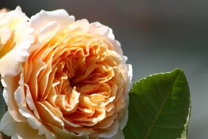 Rose by Tinap