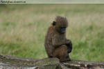 Young Baboon by FantasticFennec