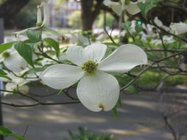 white dogwood 03 by CotyStock