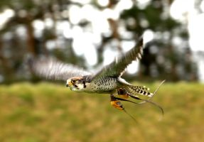 Lanner Falcon in flight by Shadow-and-Flame-86