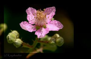 Yuba River Flower by kayaksailor