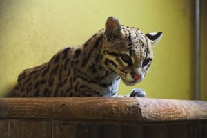 Ocelot 20130626-1 by FurLined