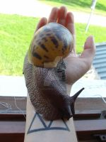My pet snail, all grown up! by iamwinterborn