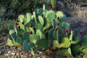 Prickly pear 1209 by mammothhunter