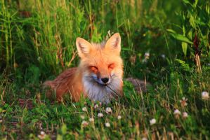 Stock: Happy Fox by Celem