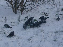 pidgeons on the snow by indeed-stock