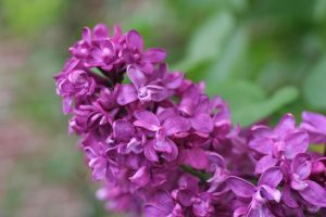 Lilacs by Dellessanna