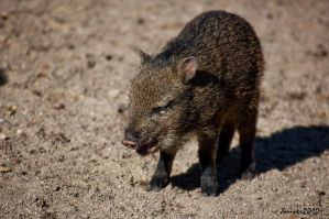 Peccaries by DanielleMiner
