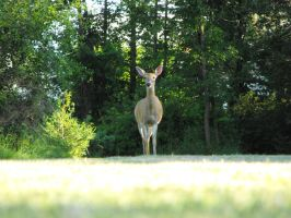 Curious Doe by ArrsistableStock
