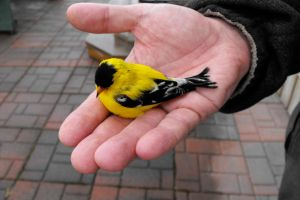 American Goldfinch Wounded by PixelGordon