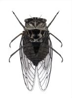 Cicada Insect by eyefeather