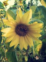 I heart sunflowers by Sweet-Melly