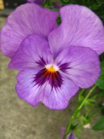 Pansy 2 by sugawinkle