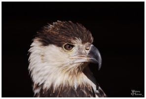Portrait, African Fish Eagle by W0LLE