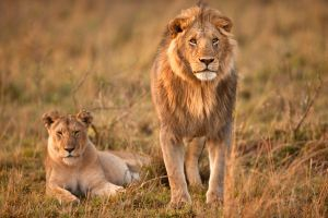 African Lion 10 by catman-suha