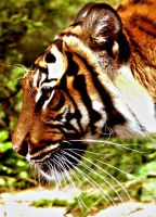 .::Tiger--at the sides::. by WhiteSpiritWolf