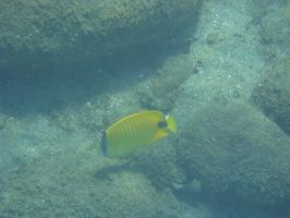 Milletseed Butterflyfish by FooDusty