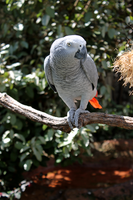 African Grey Parrot by Geistson