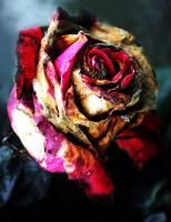 ...Corpse of a Rose... by MagdalenaToya