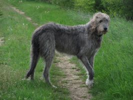 Irish Wolfhound 02 by BmAStock