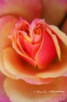Rose Heart by castrpollx