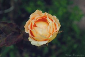 Rose. by BethanConstantine