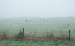 Cows in the Fog by Danimatie