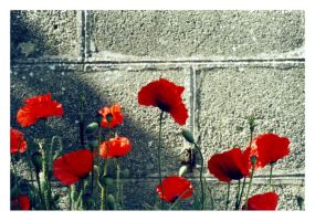 Poppies by doniazade