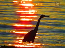 Heron Infront Of Ocean Sunset by wolfwings1