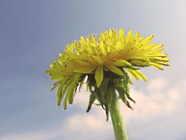 sow-thistle2 by Didix1122