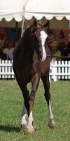 TW arab liverchest trot front on by Chunga-Stock