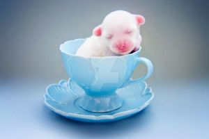 .teacup puppy. by emelia1502