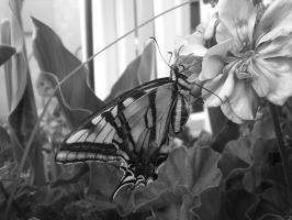 Eastern Tiger Swallowtails BW by SN2