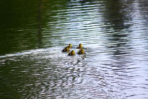 Ducklings in a star by ExposeTheBeauty