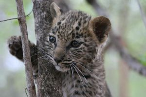 Adorable Leopard by theWulffmann
