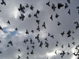 Pigeons flying by thomasVanDijk