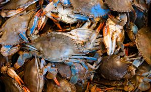 Maryland Crabs by Mjag