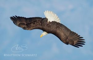 Bald Eagle in dive by Nature-Photo-Master