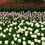 Tulips by cerenimo