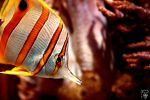 Copperband Butterflyfish by Kiara-Vestigium