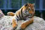 Amur Tiger 4 by Sagittor