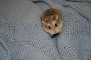 My Hamsters-Cotton by chokkocakes