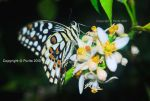 Butterfly by Purito
