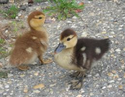 Ducklings 2 by BornCrazy7189